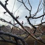 梅剪定蕾花芽