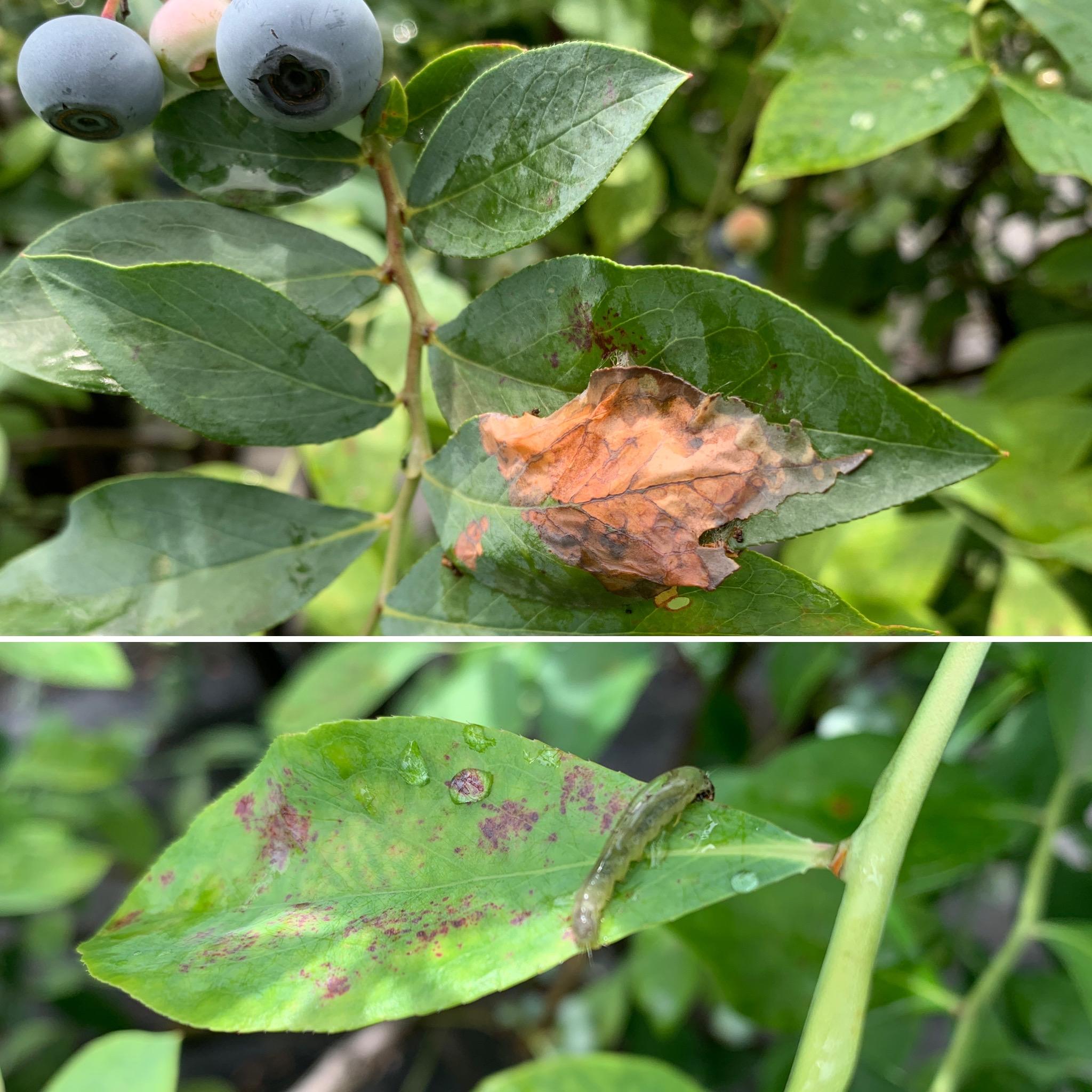 ブルーベリー害虫ハマキムシ